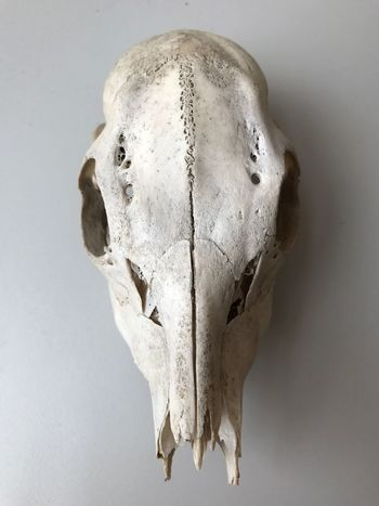 Skeleton Bones Gruesome Still Life Single Object Animal Nature Circleoflife