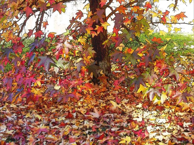 My town. Leaves🍁🍁🍁😇 Leaf Beauty In Nature Multi Colored Leaves Colorful Autumn EyeEm Gallery Photography Emotion Colors Nature Myland  Tree Tranquil Scene Day Outdoors MyEdit Iloveit Still Life