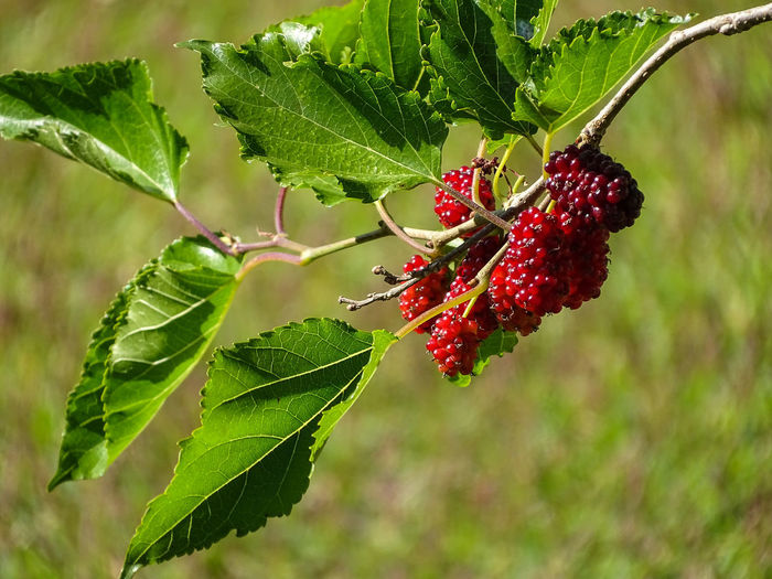ezefer Beauty In Nature Berry Fruit Close-up Day Focus On Foreground Food Food And Drink Freshness Fruit Green Color Growth Healthy Eating Leaf Nature No People Outdoors Plant Plant Part Raspberry Red Ripe Wellbeing