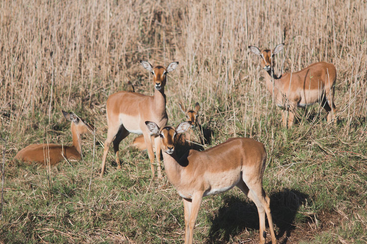 Female Impala Africa Animal Animal Themes Animal Wildlife Animals In The Wild Antelope Day Grass Mammal Nature Outdoors Safari Animals Standing Fresh On Market 2017
