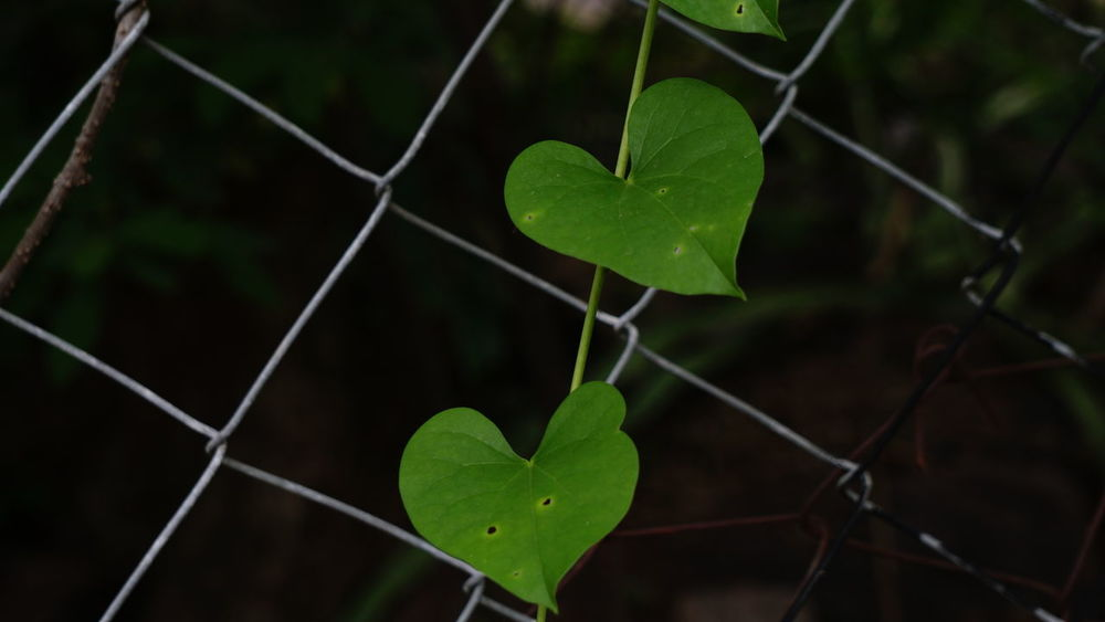 Love is Universal Chainlink Fence Heart Shape Protection Security Love Safety Shape No People Close-up Valentine's Day - Holiday Defocused Outdoors Day Sky Nature Love Is Eternal Love Green Leaves Love In Nature Sony A6000 SonyAlpha6000 Nwin Photography Beauty In Nature Eyeemphotography EyeEm Nature Lover