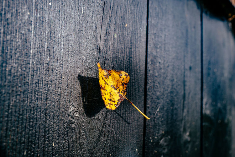 Yellow leaf hanging in spider web by wooden wall