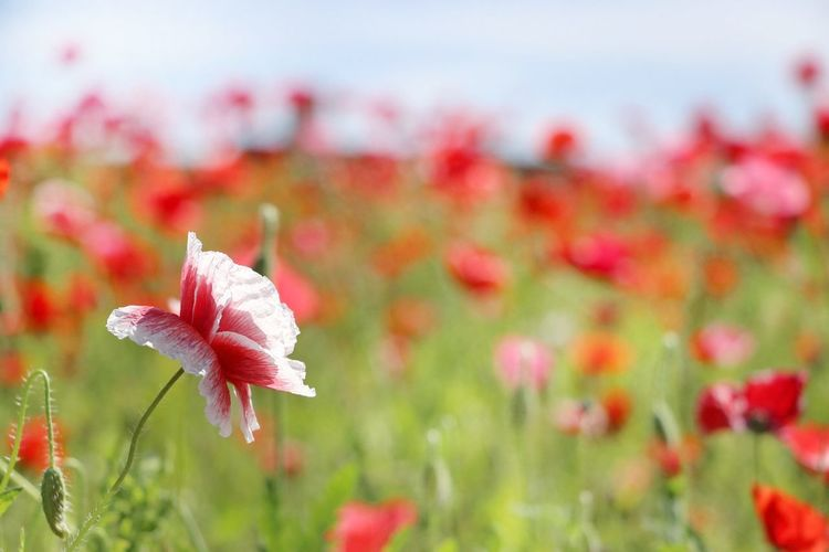 EyeEm Best Shots EyeEm Nature Lover EyeEm Best Shots - Nature EyeEm Gallery EyeEm Flower Japan Japan Photography 日本 花 ポピー Red Color Red Flower Poppy Flower Head Flower Red Springtime Poppy Pink Color Petal Summer Uncultivated Close-up