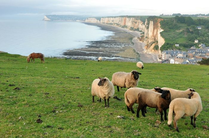Flock of sheep in Yport, France Cliff Coastline Sea Sheep Horse Pasture Evening Spectacular View France Normandie Travel Destinations Group Of Animals Domestic Animals Grass Field Nature The Great Outdoors - 2018 EyeEm Awards