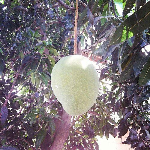 Wow fresh Mangga pa ohh Bawal På Pitasin Sab An Ta Sayang Nextnlng 12 :19pm April212013