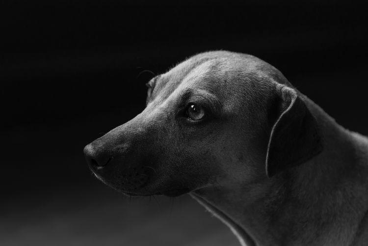 Close-up of dog against black background