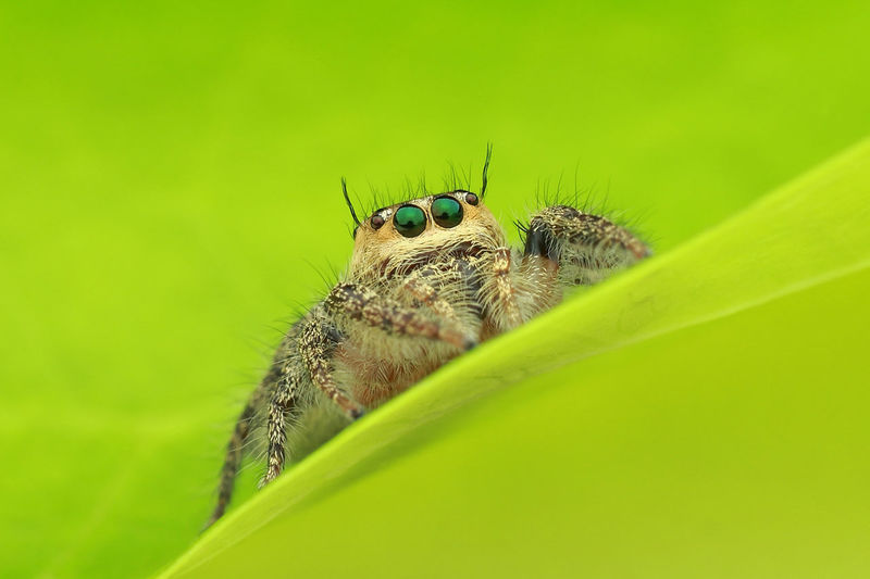 Jumping spider stood on green leaf Animal Themes Animal Wildlife Animals In The Wild Arachnid Close-up Day Female Garden Green Green Color Green Eyes Insect Insects  Jumping Spider Leaf Macro Macro Beauty Macro Photography Nature Nature Nature Beauty No People One Animal Outdoors Plant