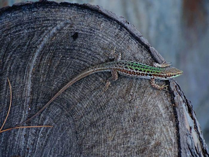 Close-up of lizard on tree stump
