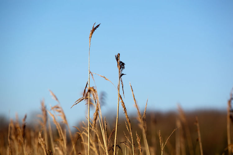 Close-up of crops in field against clear sky