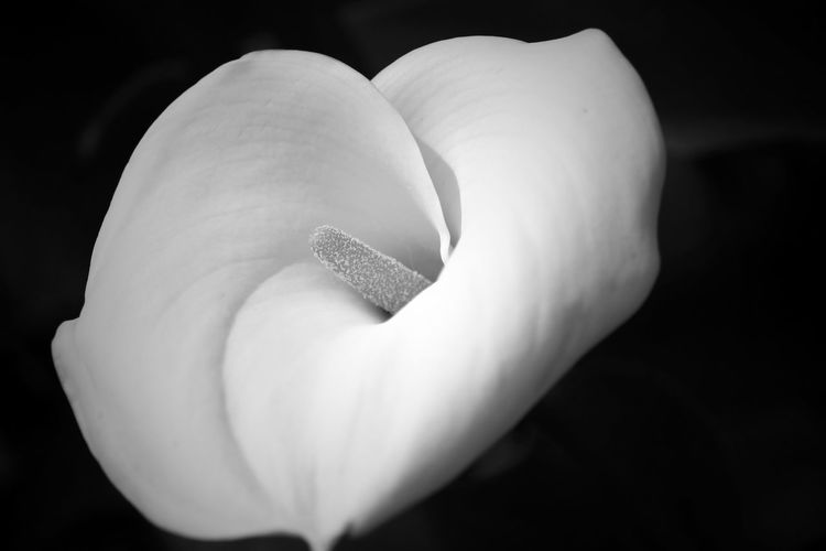 Close-up of calla lily growing outdoors