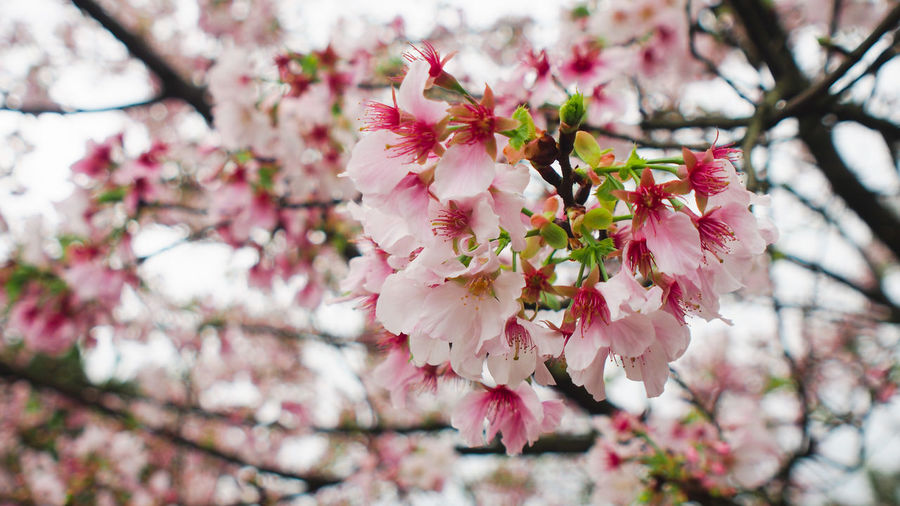 Blooming cherry blossom in Summer Japanese  Pink Sakura Taiwan Beauty In Nature Blossom Bunch Of Flowers Cherry Blossom Cherry Tree Flower Flower Head Flowering Plant Fragility Freshness Garge Petal Pink Color Spring Springtime Summer Tourism Tree