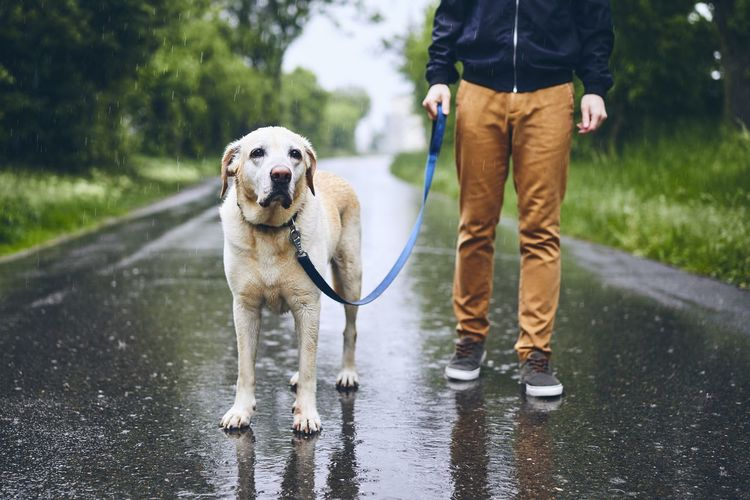 Low section of man with dog walking on wet road during rainy season