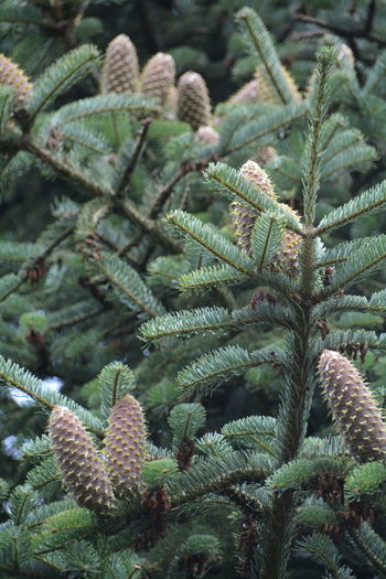 Pine Cones Growing On Tree