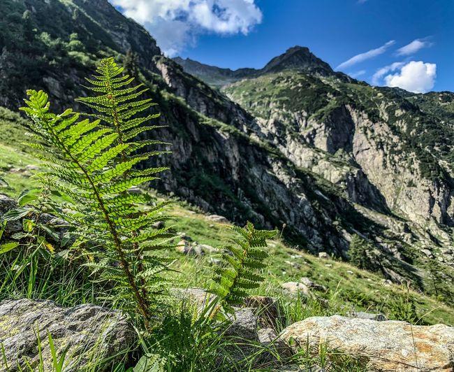 Mountain Plant