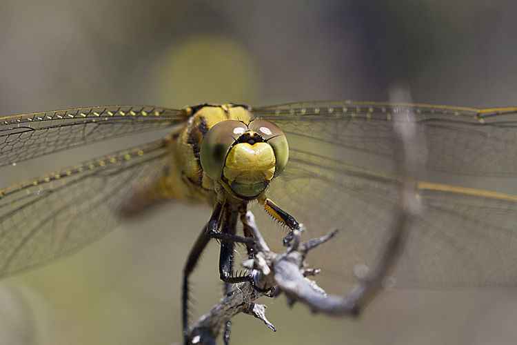 Animal Animal Body Part Animal Eye Animal Themes Animal Wildlife Animal Wing Animals In The Wild Close-up Day Dragonfly Eye Focus On Foreground Insect Invertebrate Macro Nature No People One Animal Outdoors Selective Focus