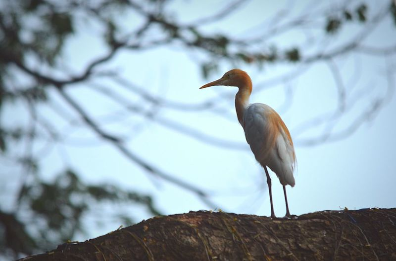Bird One Animal Animal Themes Animal Wildlife Perching Nature Branch Tree Sitting No People Day Day Light Outdoors Beak Close-up Egre T in Guwahati Assam, India