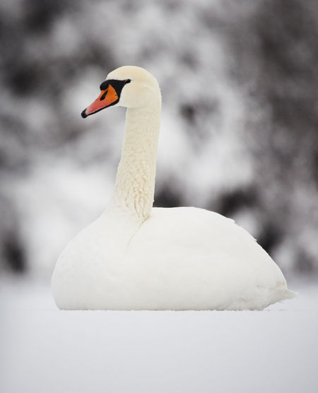 White mute swan sitting on ice in winter. Animal Themes Animals In The Wild Beak Beautiful Bird Day Elegant Focus On Foreground Ice Mute Swan Nature One Animal Red Snow Stone Material Swan White Winter Zoology
