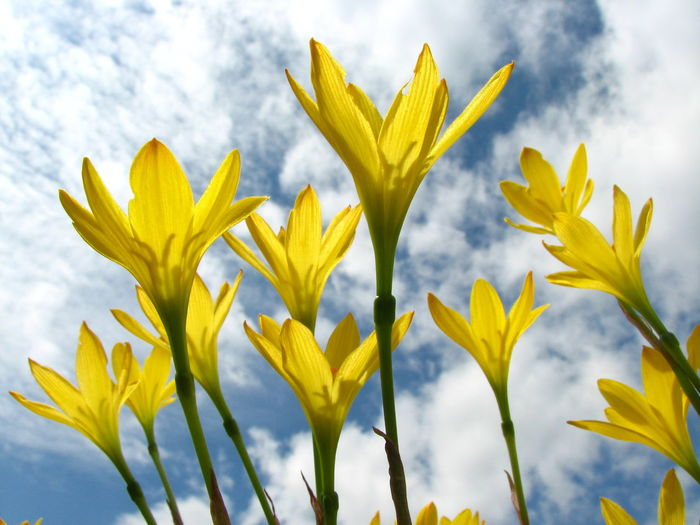 Yellow Plant Beauty In Nature Flower Freshness Flowering Plant Growth Nature Close-up Sky Cloud - Sky No People Day Fragility Vulnerability  Low Angle View Flower Head Focus On Foreground Outdoors Inflorescence Sepal Aleq