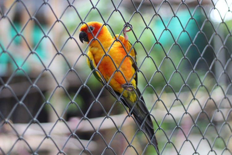Close-up of parrot in cage seen through chainlink fence