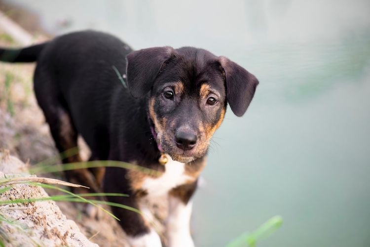 puppy Animal Puppy Close-up Look One Animal Canine Dog Mammal Pets Domestic Animals Domestic Portrait Close-up Looking At Camera Nature Outdoors Black Color