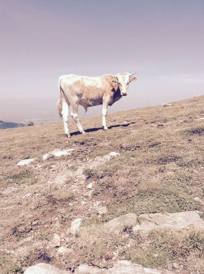 Bull Standing On Mountain Against Sky