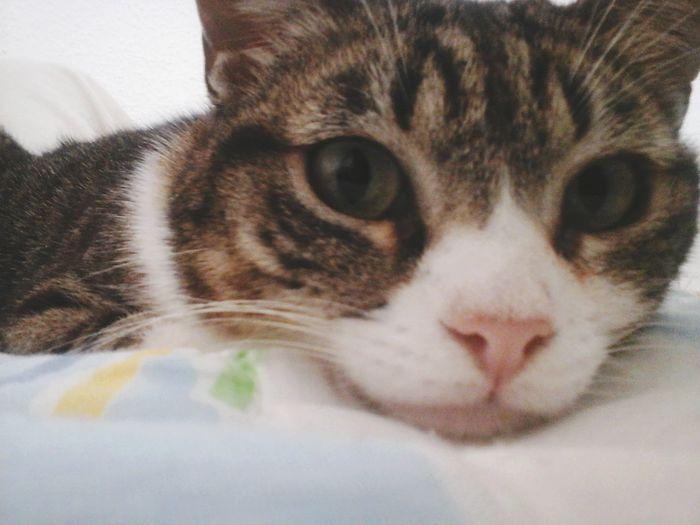 Domestic Cat Pets Looking At Camera Animal Themes Feline Indoors  EyeEmNewHere