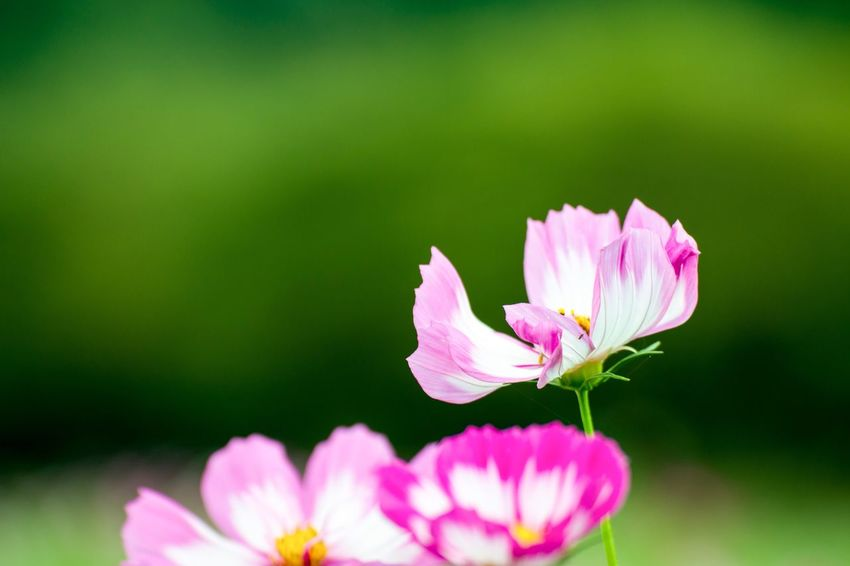 Flower Fragility Petal Nature Pink Color Beauty In Nature Freshness Flower Head Growth Close-up Plant No People Focus On Foreground Blooming Day Outdoors Cosmos Flower EyeEm Flower 巾着田曼珠沙華公園 EyeEm Best Shots EyeEm Best Shots - Nature EyeEm Nature Lover Week On Eyeem