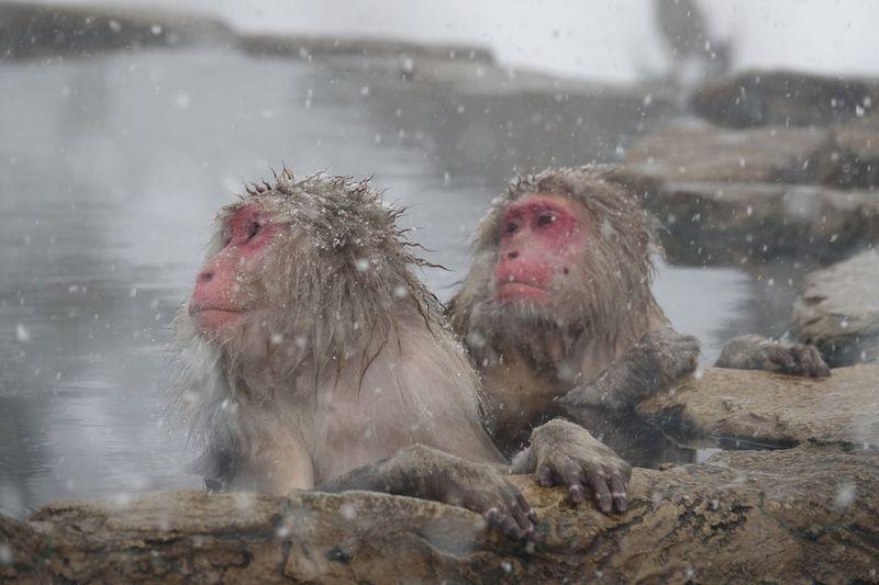 Snow Monkey Animal Animal Themes Mammal Group Of Animals Monkey Animal Wildlife Primate