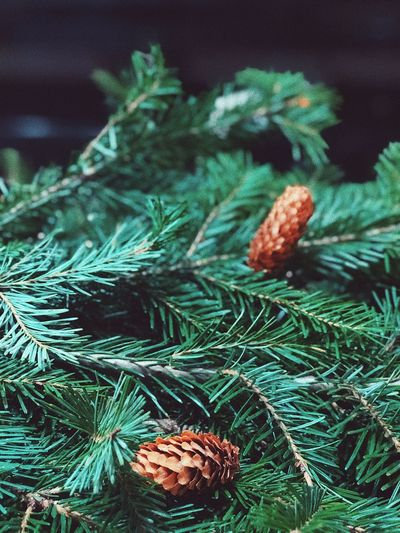 Fir-tree Christmas Time Christmas Decorations Christmas Decoration Christmas Tree Fir-cone Cone Trees Tree No People Close-up Green Color Indoors  Needle Nature Day Freshness