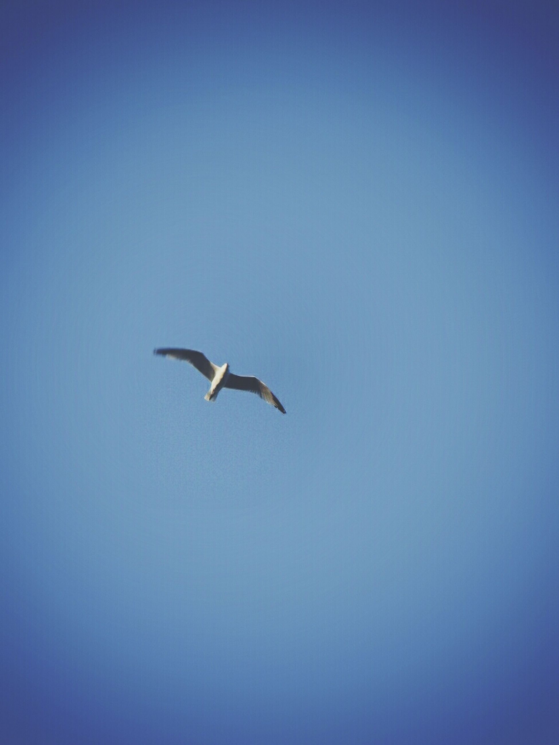 bird, animal themes, flying, animals in the wild, one animal, wildlife, clear sky, spread wings, copy space, blue, seagull, mid-air, nature, low angle view, beauty in nature, no people, outdoors, day, sky, zoology