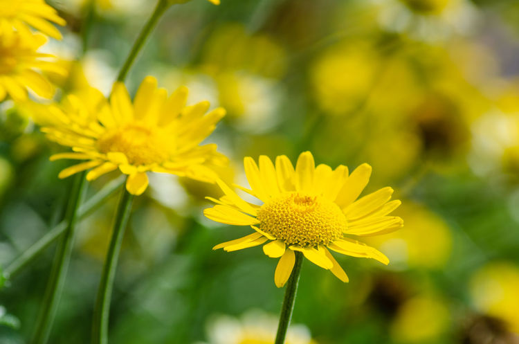 Close up view of an anthemis flower. Daisy Anthemis Beauty In Nature Close Up Close-up Closeup Day Flower Flower Head Flowering Plant Fragility Freshness Growth Macro No People Outdoors Petal Plant Vulnerability  Yellow
