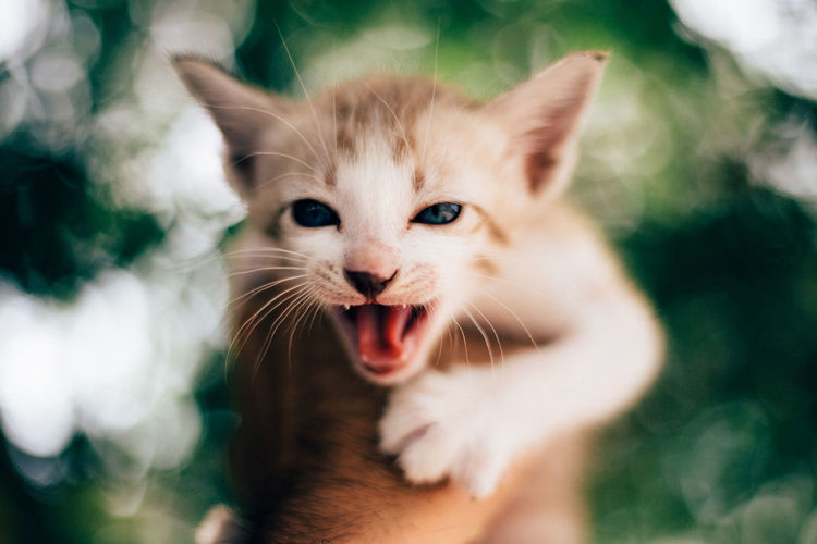 Domestic Pets Mammal Domestic Animals Cat Animal Animal Themes Domestic Cat One Animal Feline Vertebrate Portrait Mouth Open Mouth Looking At Camera Whisker Anger Focus On Foreground Emotion Day No People Aggression  Animal Head  Ginger Cat