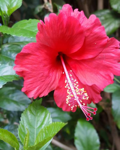 Floral Hawaii Red Hawaiian Flowers, Nature And Beauty Nature Flower Hibiscus Hibiscus Flower Flowers Enjoying Life Taking Photos