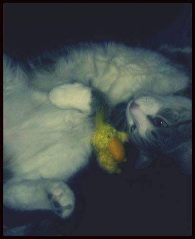 Cat Ducky