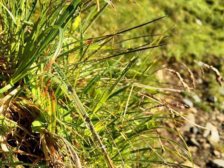 Gras Davos Gras  Nature Waterpearls