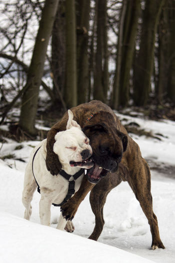 Animal Animal Themes Boxer Boxer Dog Boxer Dogs Cold Dog Dogs In The Snow Dogs Jumping  Domestic Animals Funny Ice Iced It's Cold Outside Jumping Mammal Pet Portraits Pets Phillip & Sopi Playing Playing Dogs Snow Two Animals Winter