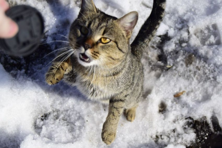 Domestic Cat Domestic Animals Pets Winter Snow Animal Themes One Animal Mammal Feline Looking At Camera Cold Temperature Whisker Portrait No People Tabby Cat Close-up Day Outdoors March Kater Frühling 2017