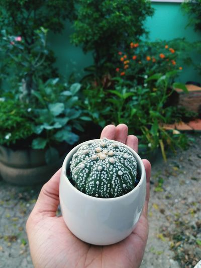 Cropped hand holding potted cactus in yard
