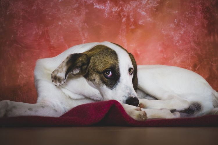 Puppy Dog Relaxes Animal Head  Animal Themes Bed Best Friend Close-up Comfortable Dog Domestic Animals Home Interior Indoors  Looking At Camera Lying Down Mammal No People One Animal Pets Portrait Puppy Puppy Love Relaxation Relaxing Resting Sofa