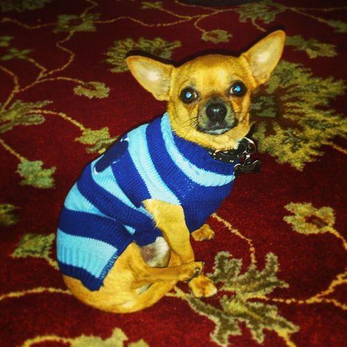 Just a pup in a sweater Dailyzigga Sweaterweather Happyfall