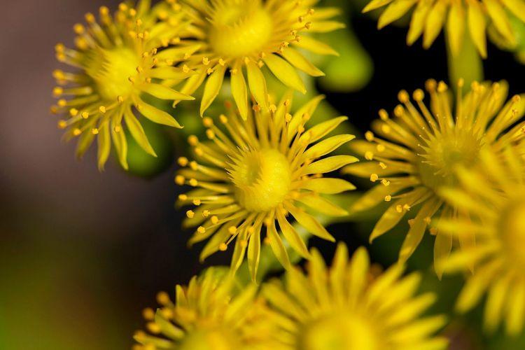 Flower Head Flower Yellow Petal Springtime Blossom Close-up Plant