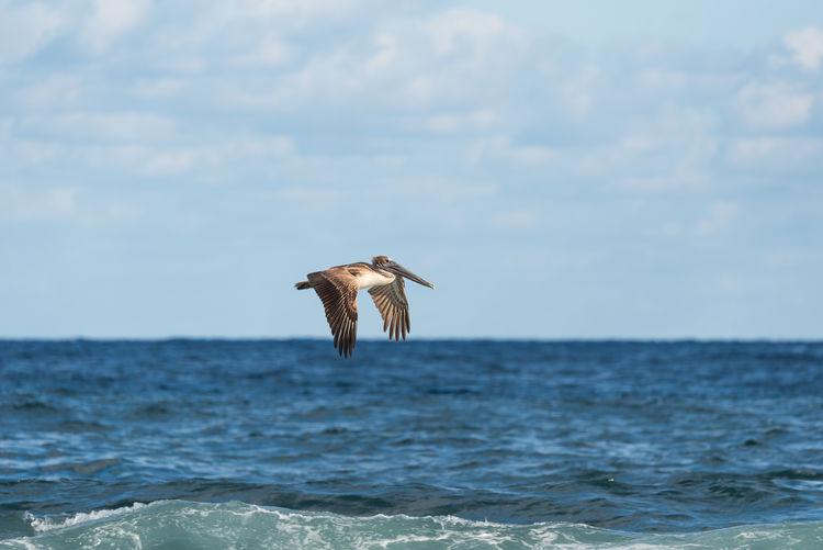 Pelican flying over sea against sky