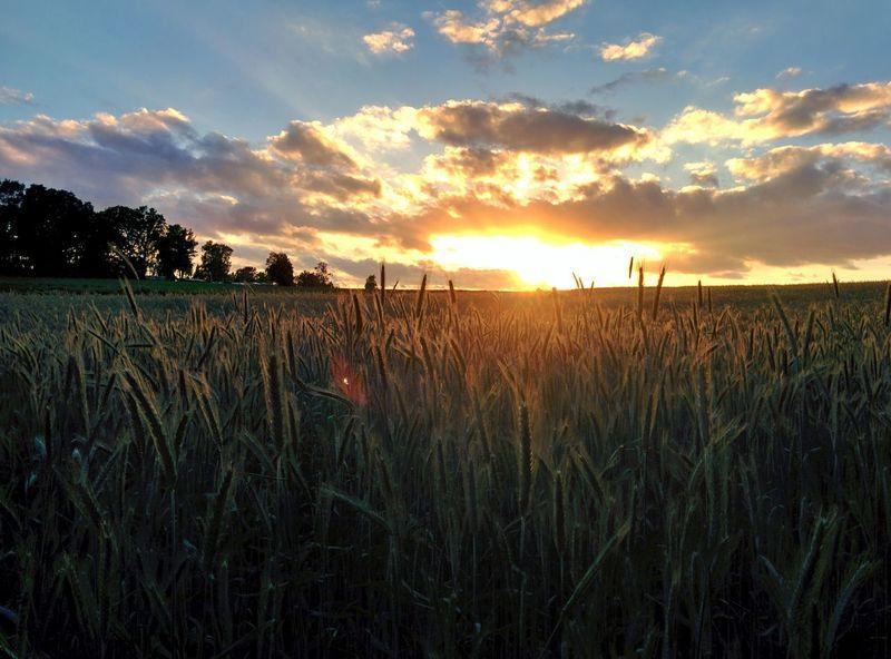 Light Dark Canolaflower Canola Field Canola Crops  Sunset Rapeseed Field Copy Space Germany Sky Horizont  Golden Sun