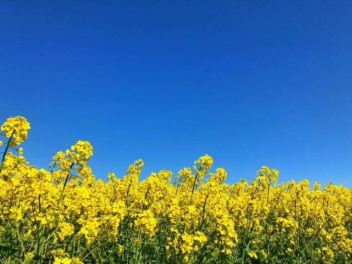 Field Colza Rapeseed Yellow Nature Sky Horizon Blue Flower Plant Beauty In Nature Oilseed Rape Flowering Plant Landscape Growth Agriculture Freshness Clear Sky Scenics - Nature Crop  Environment Day Land Copy Space No People Outdoors Springtime