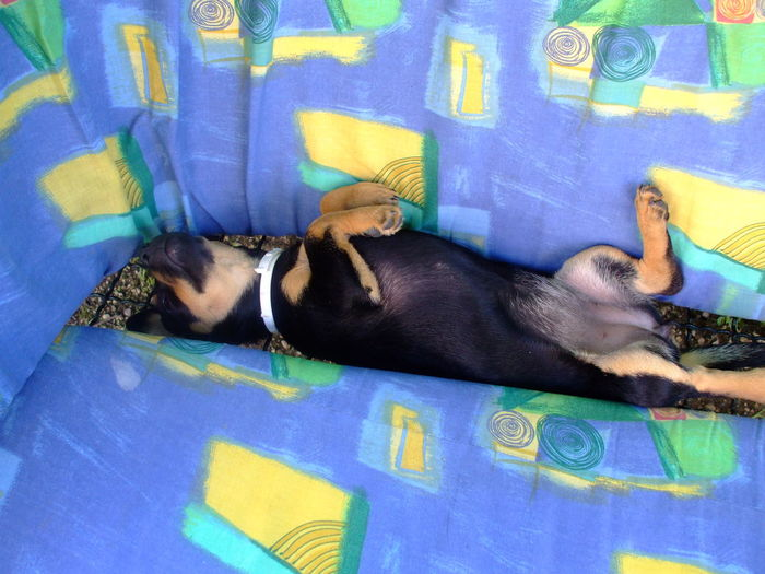 Cute Dachshund Dog Domestic Animals Lying Down Mazsi No People Pets Puppy Relax Relaxation Sleepy Sleepy Puppy