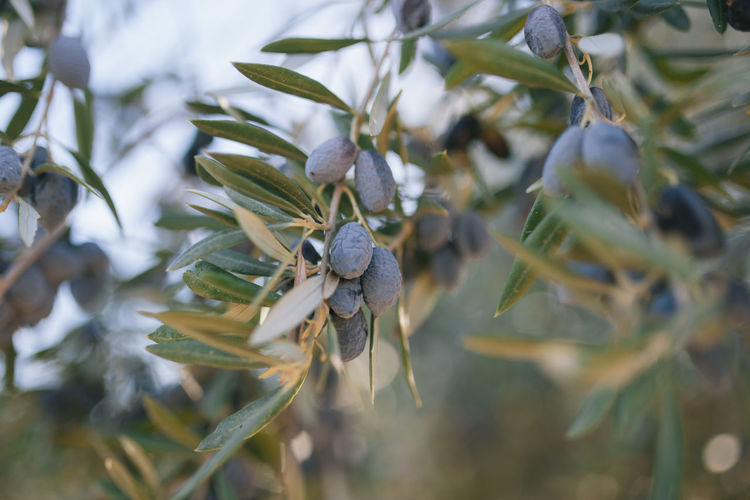 Close-Up Of Olive Tree