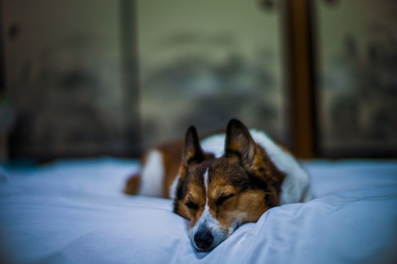 Dog Looking Away While Resting On Bed At Home