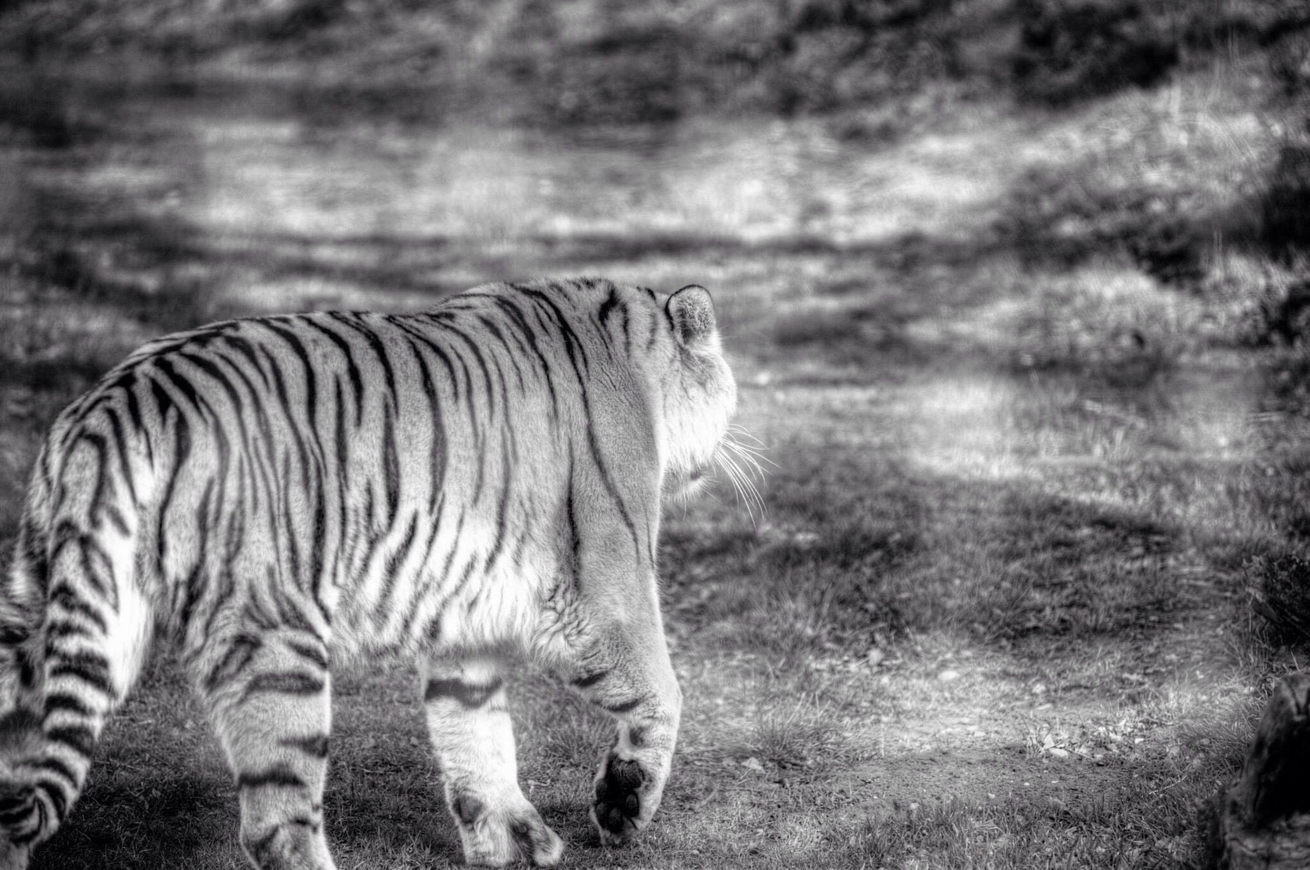 animal themes, mammal, one animal, field, horse, domestic animals, standing, herbivorous, safari animals, focus on foreground, grass, side view, zebra, animal head, livestock, nature, sky, outdoors, grassy, day
