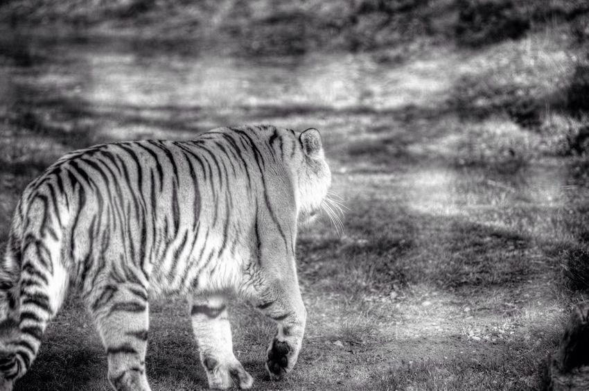 Yorkshire Wildlife Park Yorkshire Wildlife Park Zoo Blackandwhite Black And White Throughthefence Tiger