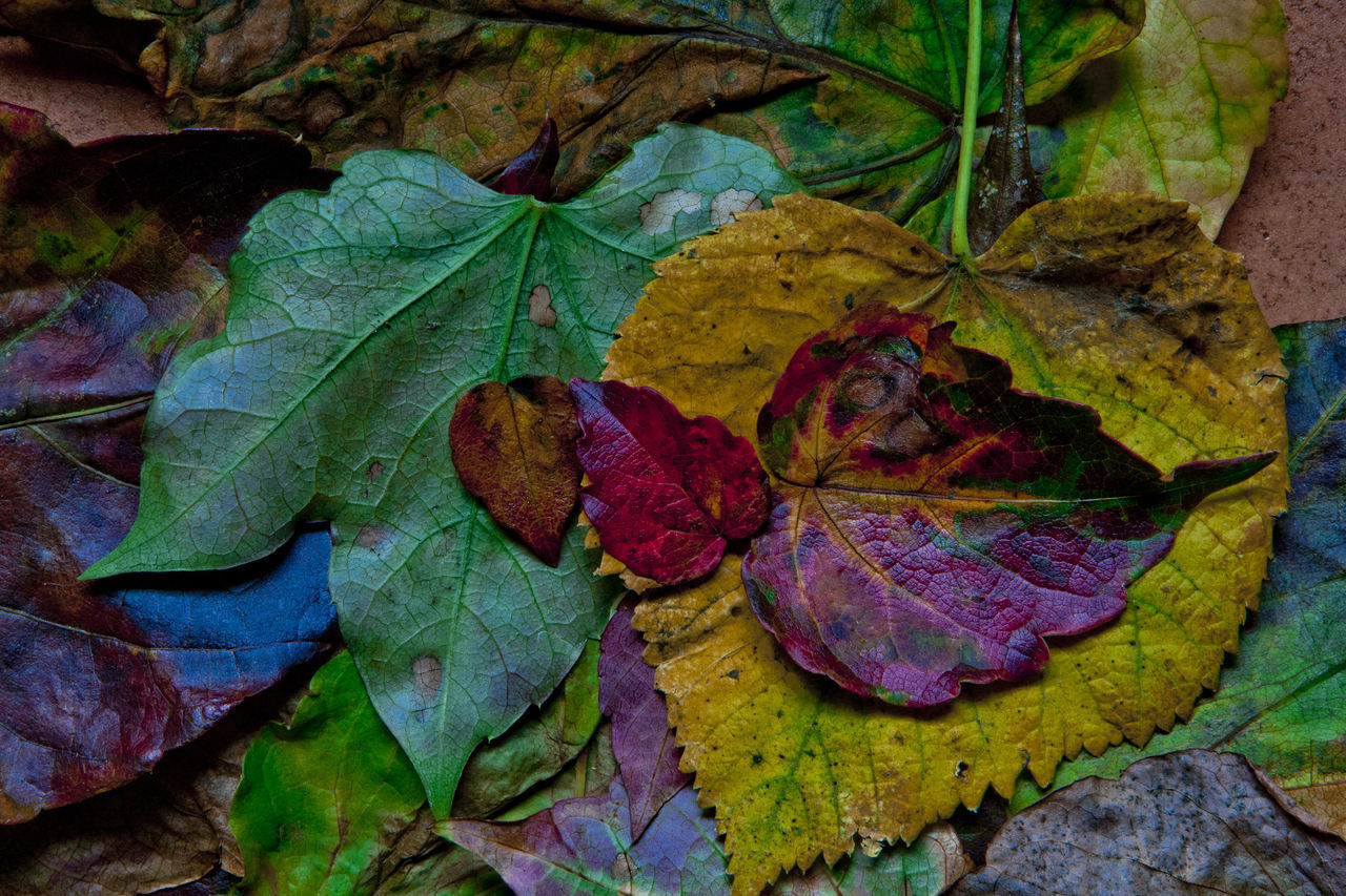 plant part, leaf, autumn, change, close-up, nature, plant, no people, beauty in nature, green color, leaves, fragility, dry, vulnerability, leaf vein, day, outdoors, directly above, high angle view, water, maple leaf, natural condition